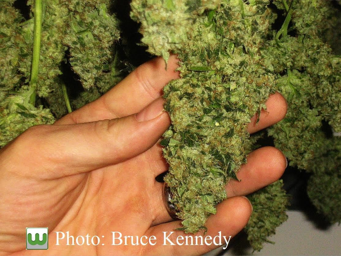 image of hand and marijuana bud