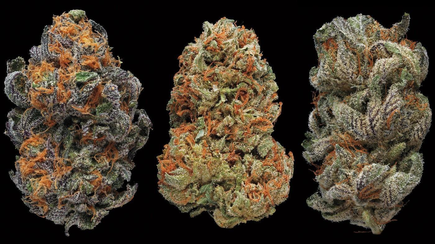 Image of three different marijuana strains showing perfect flower buds.