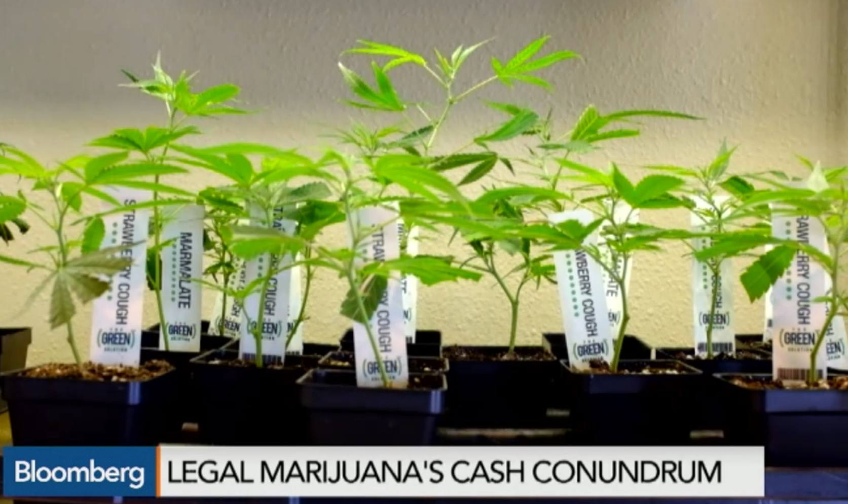 Image of Legal Marijuana plants available for sale