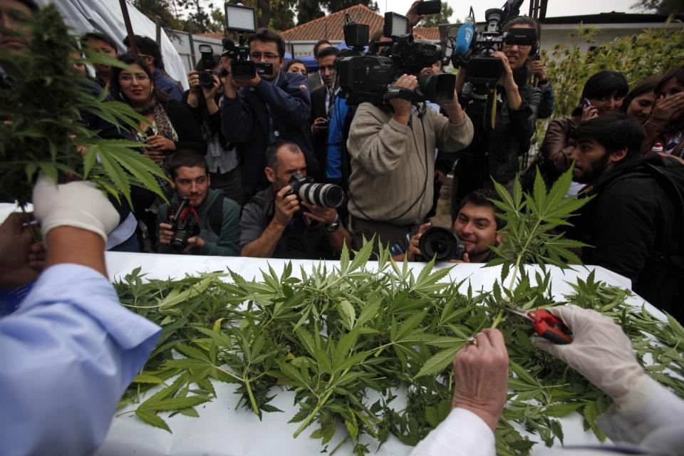 Image of  legal medical marijuana harvest in Chile