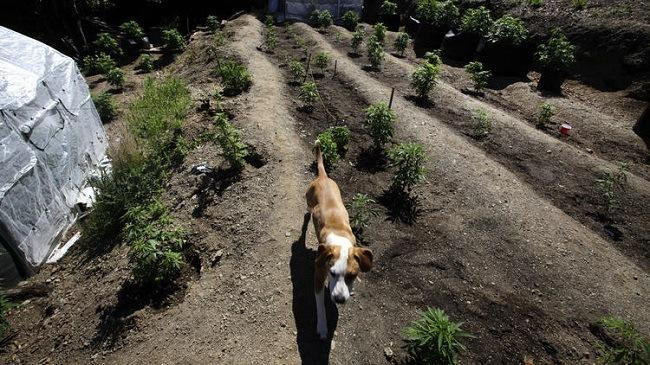 A dog patrols marijuana plants growing in Shelter Cove in Humboldt County, California. Water quality control boards around the state have begun cracking down on practices that affect local water supplies. (Barbara Davidson / Los Angeles Times