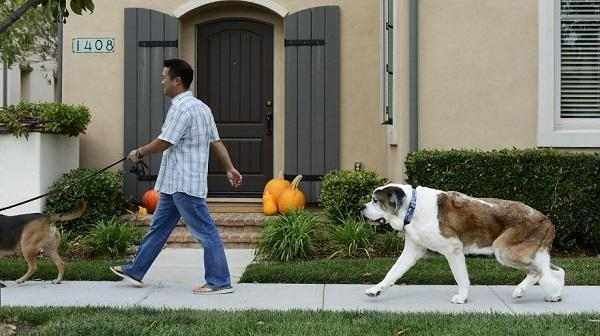 After taking his CBD medicine Moose, a 10-year-old, 120-pound St. Bernard, goes for a walk in San Jose, California. Image: Brandon Chew, Special to The Chronicle