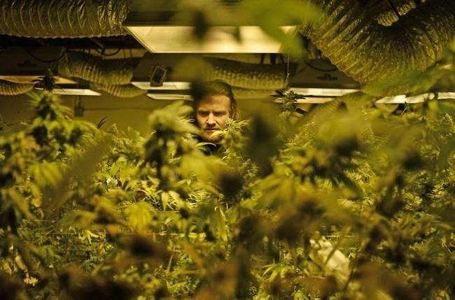Robert Grandt works in the grow room at 3D Cannabis Center in Denver on March 11, 2015. (RJ Sangosti, Denver Post file)