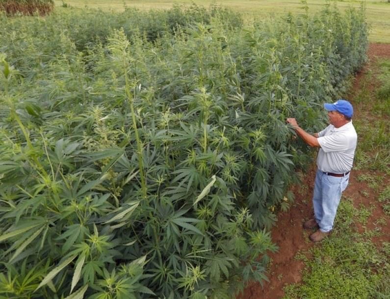Image of an industrial hemp field