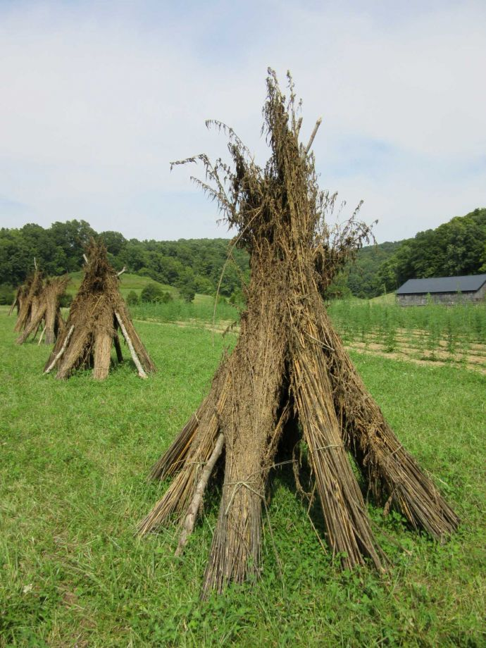 Image of industrial hemp plants