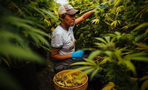 Study: Legal marijuana could generate more than $132 billion in federal tax revenue and 1 million jobs - Cannabis News