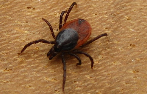 How Cannabis Can Relieve Symptoms Of Lyme Disease - Cannabis News