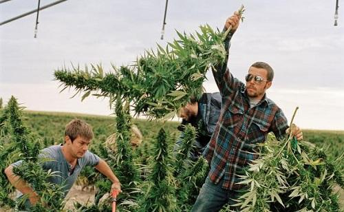Organic Weed? Marijuana Growers Go Green - Cannabis News