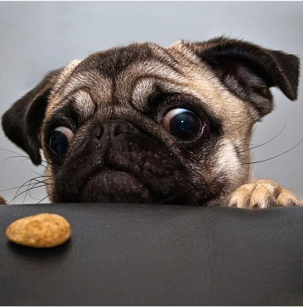 Pug dog and cookie. Image: Brandon2 via Wikimedia Commons