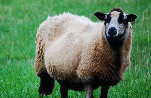 Welsh sheep go on rampage after eating cannabis plants – Marijuana News