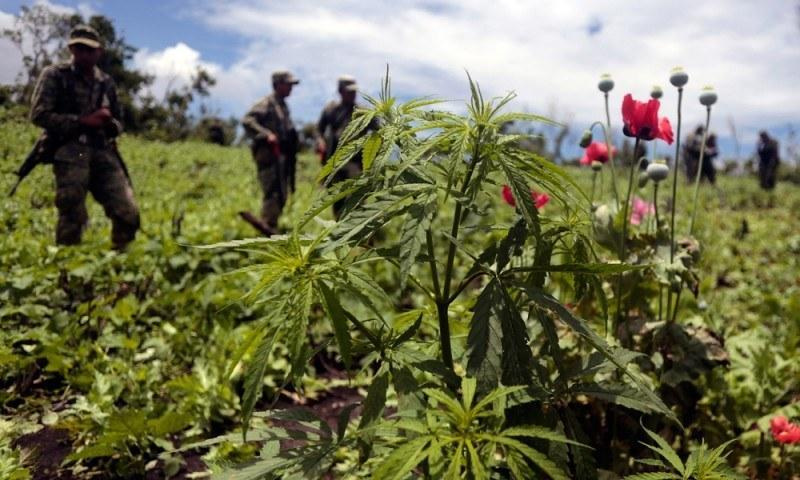 "Slumping demand for Mexican ""brick weed"" has more drug farmers turning to growing opium poppies for heroin production."