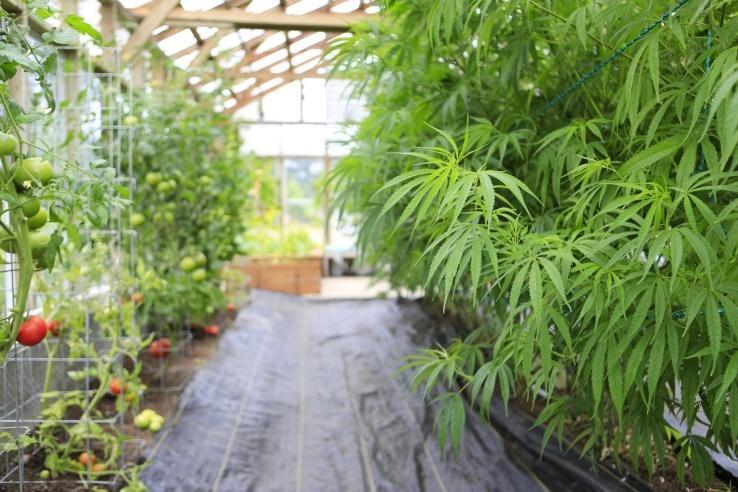 Image of a greenhouse with tomatoes and marijuana growing.